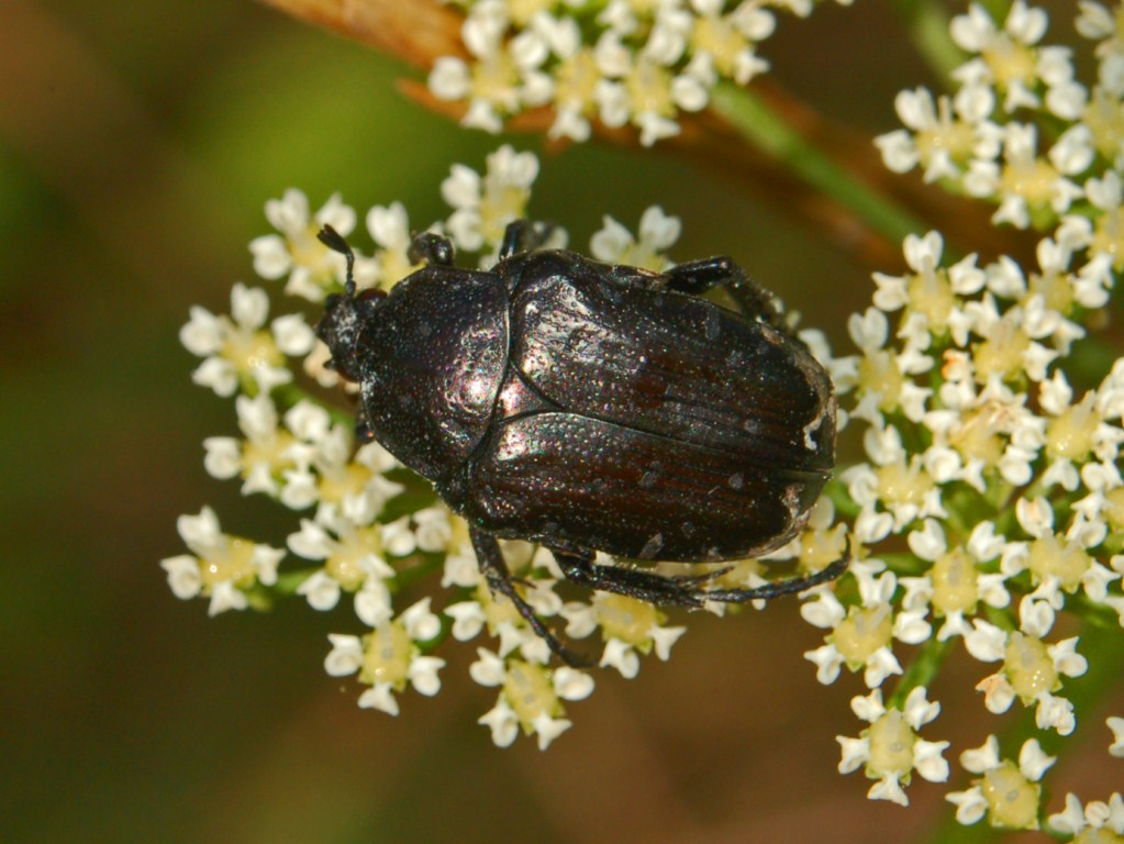 OSNOVNE SPOLNE KARAKTERISTIKE I BROJNI ODNOS SPOLOVA U ODABRANIM BOSANSKOHERCEGOVAČKIM LOKALNIM POPULACIJAMA VRSTE Oxythyrea funesta Poda, 1761 (Coleoptera: Scarabaeidae, Cetoniinae)