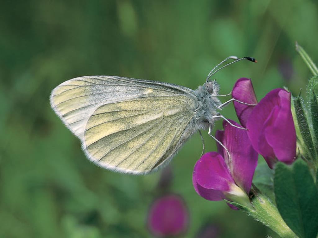 VARIJACIJA DUŽINE SAKUSA U POPULACIJI VRSTELeptidea sinapis Linnaeus, 1758 (Lepidoptera, Pieridae, Dismorphiinae) SA PODRUČJA ŠIRE OKOLINE SARAJEVA