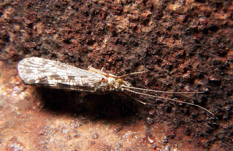 NOVI PODACI O FAUNI VODENIH MOLJACA (Insecta: Trichoptera) BOSNE I HERCEGOVINE